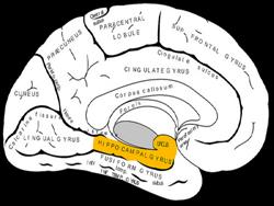 Ученые обнаружили способ замедлить деградацию мозга
