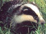 Правительство Великобритании занимается отстрелом барсуков, распространяющих бычий туберкулез