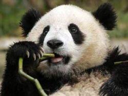 Панда Гу-Гу в Пекинском зоопарке оставил мальчика без ног