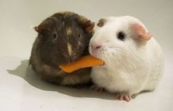 Подборка для любителей морских свинок (фото)