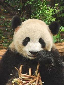 Репортаж из центра разведения панд в городе Чэнду (фото)