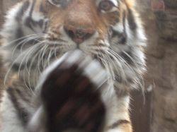 Тигр с головы до ног описал посетителя зоопарка (видео)
