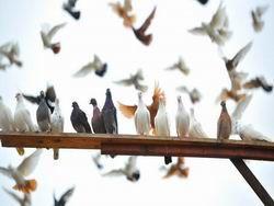 Бизнесмен предлагает строить голубятни в парках Москвы