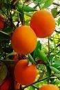 Россия ввела запрет на ввоз мандаринов из Абхазии