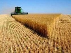 Современная пшеница - это отрава отрава