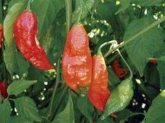 Обнаружен самый жгучий во всем мире перец Чили