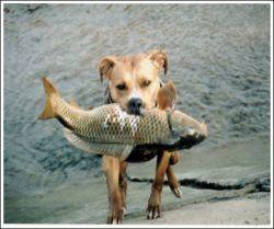 Собака, увлекающаяся рыбной ловлей (фото)