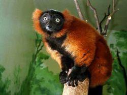 Экологи: приматы вымрут первыми