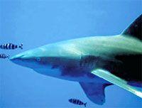 Трехметровая рифовая акула чуть не откусила россиянке ногу
