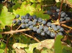 Немецкие производители против права называть вином напитки только из винограда