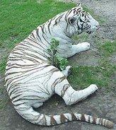 Белые тигры отказались размножаться в Сибири