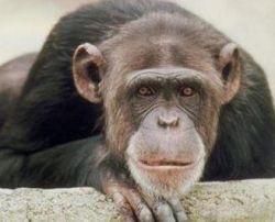 Говорящая обезьяна учила человеческому языку соплеменников
