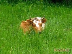 Коровы – тоже виновники глобального потепления