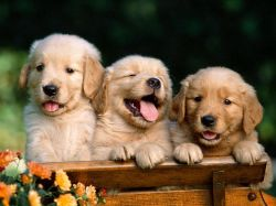 Три мифа об интеллекте собак