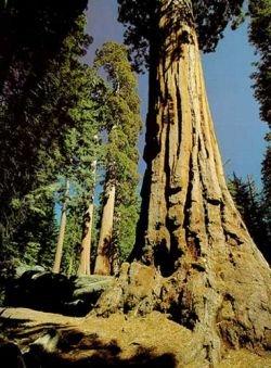 Калифорнийский лесовод Дэвид Миларч хочет клонировать многовековые секвойи