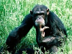 Новость на Newsland: У обезьян тоже бывает кризис среднего возраста