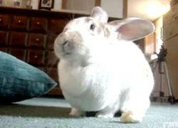 Поющий кролик – новая звезда Интернета! (видео)