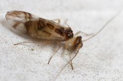Древесная муха Atlantopsocus adustus заселяет Великобританию