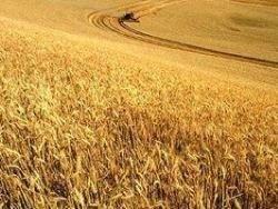 Взлом генома пшеницы накормит весь мир