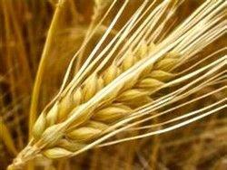 Взлом генома пшеницы может помочь накормить мир
