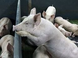 В Ивановской области введен режим ЧС из-за свиной чумы