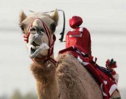 Роботы станут жокеями на верблюжьих гонках в Дубае (фото)