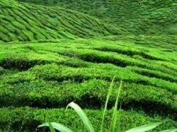 Скоро электроэнергию будут получать за счет переработки отходов производства чая и сахара