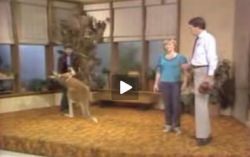 Неадекватное поведение кенгуру-боксера на съемках программы о животных (видео)