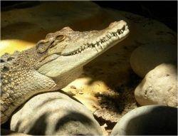 Вьетнамская армия занялась отловом сбежавших крокодилов