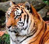 В Индии ради спасения бенгальских тигров переселяют людей