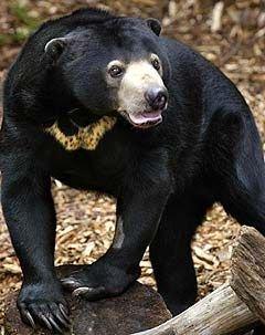 Малайский медведь вошел в список исчезающих видов
