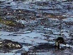 Нефть, вылившаяся в воду, может загрязнить Черное море на 15 лет