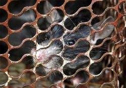 В новый год Мыши на счастье нужно съесть крысу