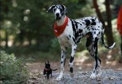 Самая большая собака в мире живет в Калифорнии (фото)
