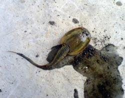 Доисторическую рыбу нашли в челябинском пруду