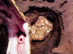 Как в Африке охотятся на анаконду? (фото)