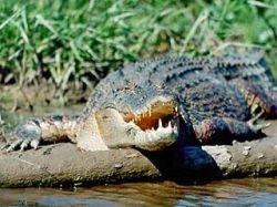 В США аллигатор опередил полицейских, утянув вора на дно