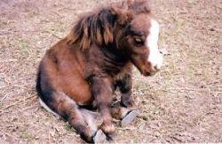 Тамбелина (Thumbelina) — самая маленькая в мире лошадь (фото)