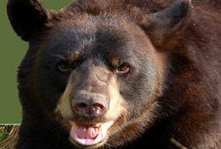 В США в угоне автомобиля обвинили медведя