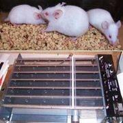 Генетики вывели самую выносливую мышь