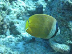 В Черном море поселились экзотические рыбы