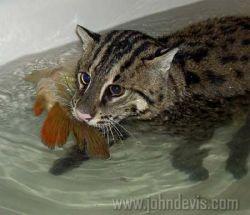 1,5-метровый кот ловит рыбу для своих хозяев (фото)