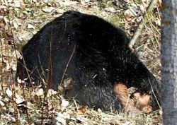 Охота на медведя чуть не закончилась трагедией (фото)