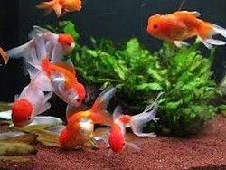 Новость на Newsland: Учёные: золотые рыбки спасут от рака