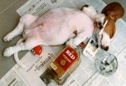 У животных тоже есть страсть к алкоголю (фото)