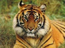 Тигры китайского зоопарка едят друг друга от голода