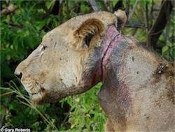 Новость на Newsland: Львы три года кормили сородича, попавшего в капкан
