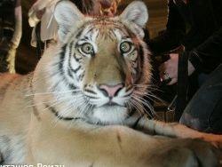 Новость на Newsland: Тигр чуть не растерзал безбилетника в зоопарке Тбилиси