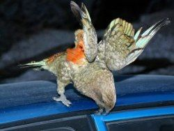 Новость на Newsland: Новозеландский попугай похитил у туриста 700 фунтов стерлингов
