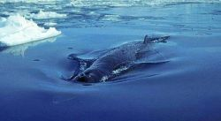 США просят Японию не убивать горбатых китов
